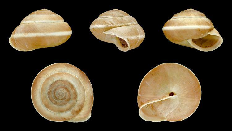 Hygromia limbata httpsuploadwikimediaorgwikipediacommons44