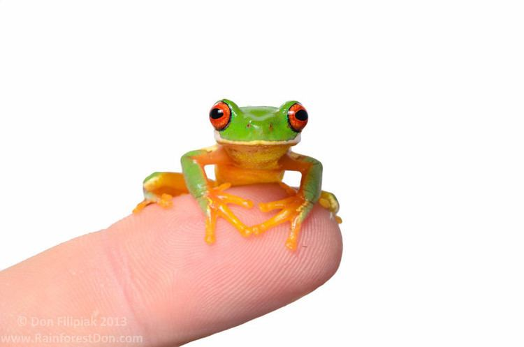 Hylidae Treefrogs and the like Hylidae Central America rainforestdon