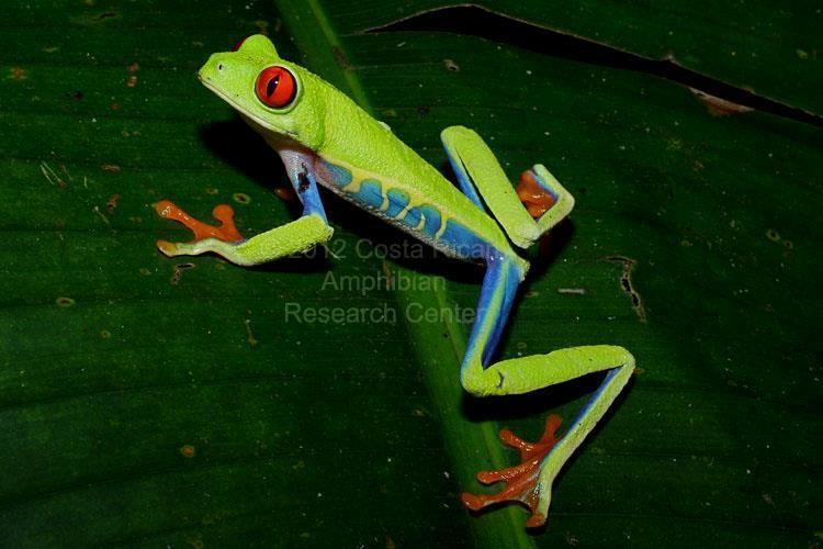 Hylidae Family Hylidae Costa Rican Amphibian Research Center