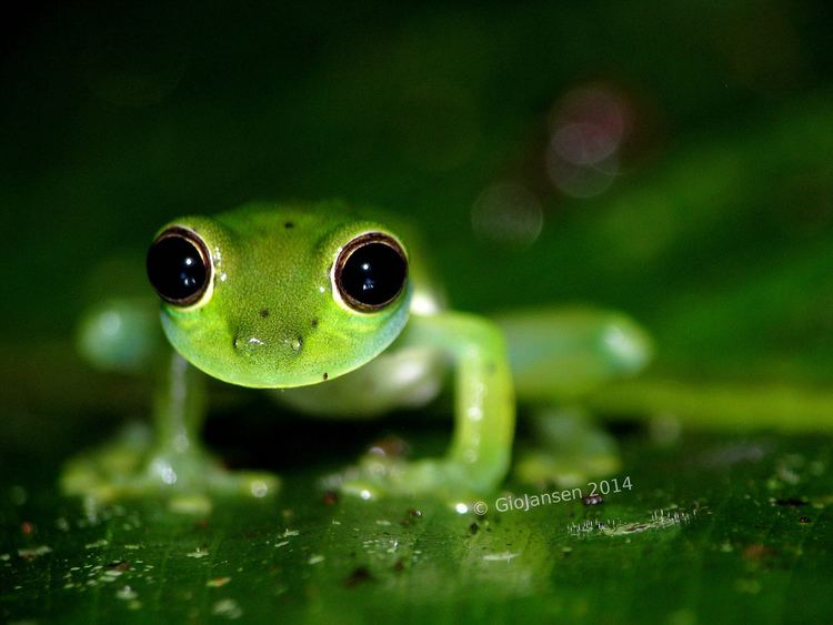Hylidae httpsc1staticflickrcom65570148290354107fb