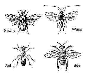 Hymenoptera httpsprojectsncsueducalscourseent425image