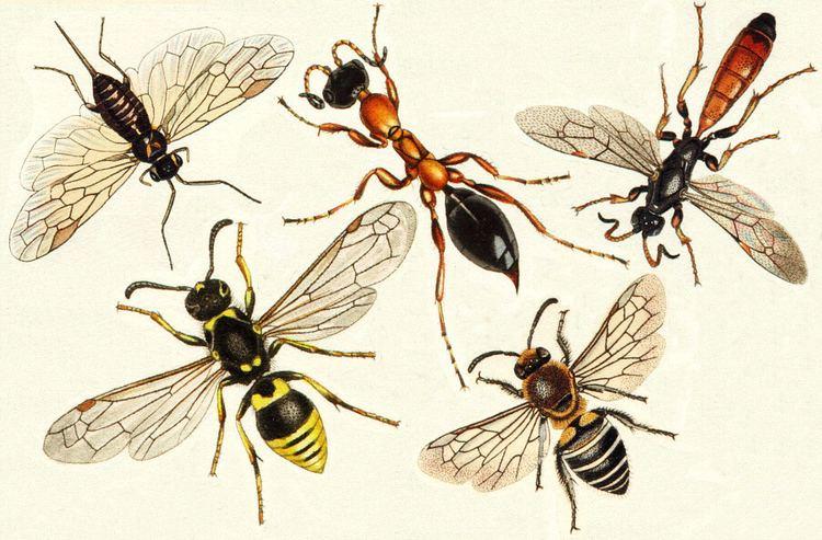 Hymenoptera Insects of Britain and Ireland orders Hymenoptera
