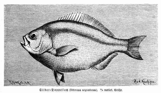 Hyperprosopon argenteum httpsuploadwikimediaorgwikipediacommonsdd