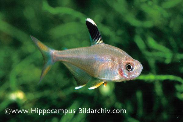 Hyphessobrycon Hyphessobrycon rosaceus Rosy Tetra Seriously Fish