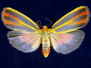Hypoprepia fucosa mothphotographersgroupmsstateeduFiles1JV300J