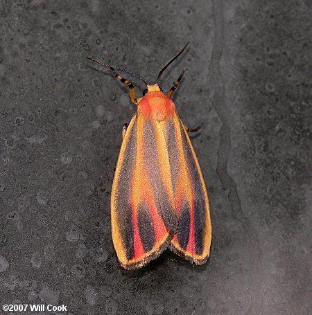 Hypoprepia fucosa fucosa Painted Lichen Moth