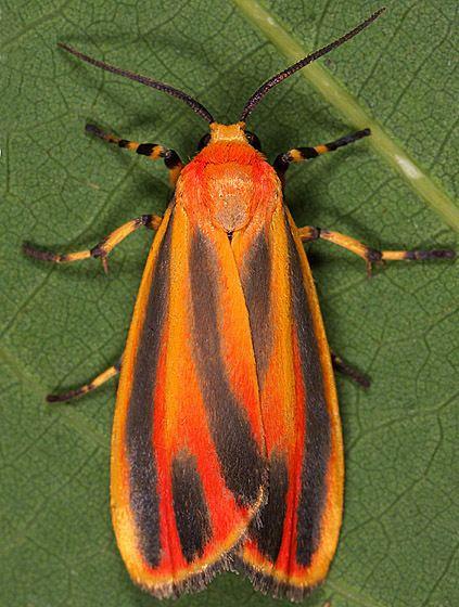Hypoprepia fucosa Moth ID Hypoprepia fucosa BugGuideNet