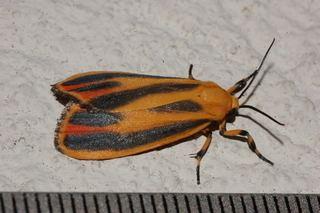 Hypoprepia fucosa Hypoprepia fucosa Painted Lichen Moth Discover Life