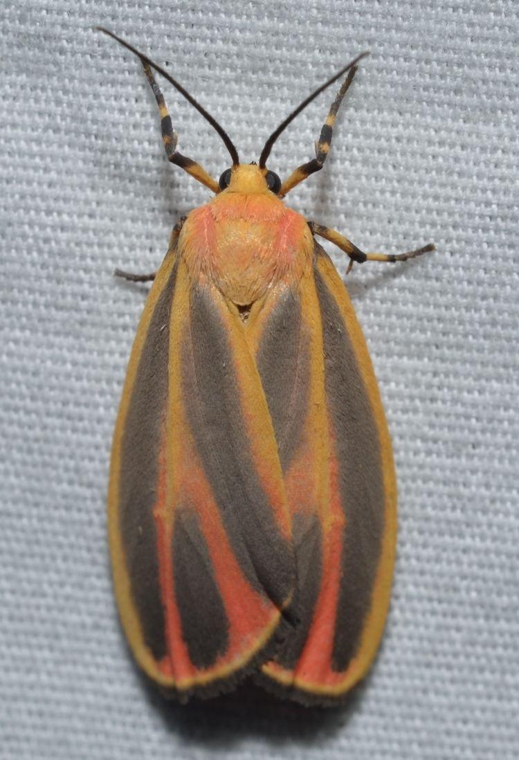 Hypoprepia fucosa File 8090 Hypoprepia fucosa Painted Lichen Moth 14836171579