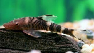 Hypoptopoma PlanetCatfishcom Hypoptopoma sp PERU1 Loricariidae CateLog