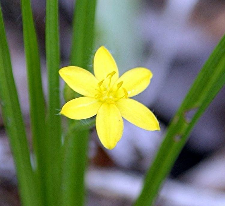 Hypoxis hirsuta Plants North Carolina Native Plant Society