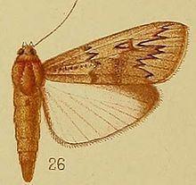 Hypsipyla httpsuploadwikimediaorgwikipediacommonsthu