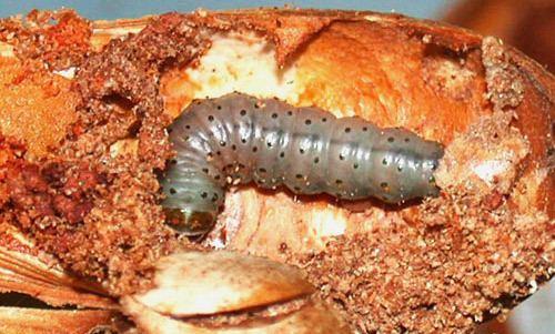 Hypsipyla grandella mahogany shoot borer Hypsipyla grandella Zeller