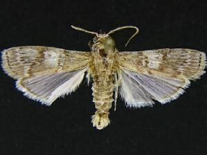 Hypsipyla grandella Moth Photographers Group Hypsipyla grandella 5705