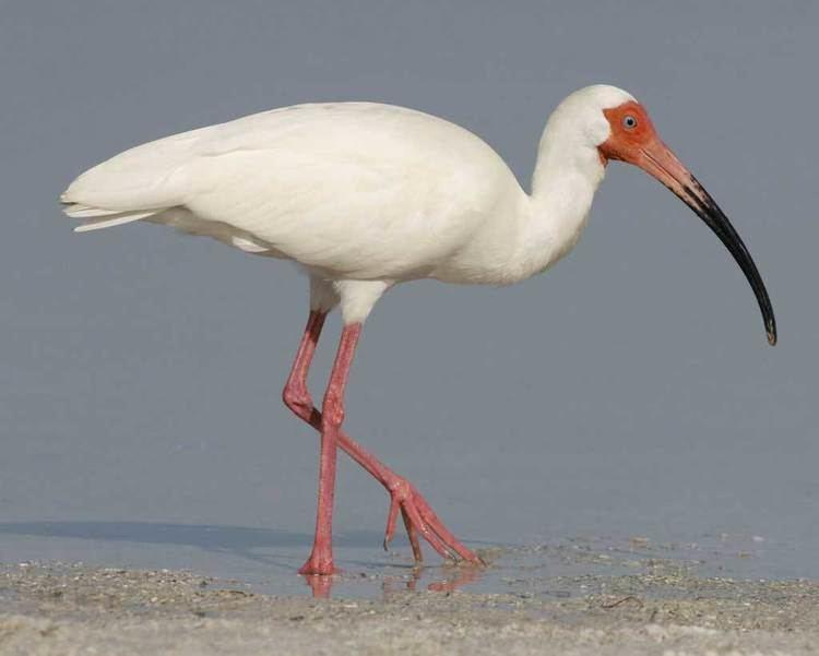 Ibis White Ibis Audubon Field Guide