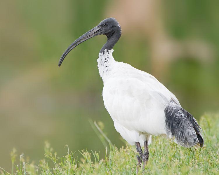 Ibis Australian white ibis Wikipedia