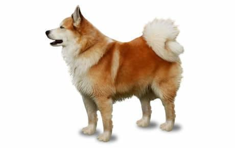 Icelandic Sheepdog Icelandic Sheepdog Dog Breed Information Pictures Characteristics