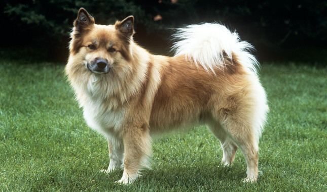 Icelandic Sheepdog Icelandic Sheepdog Breed Information