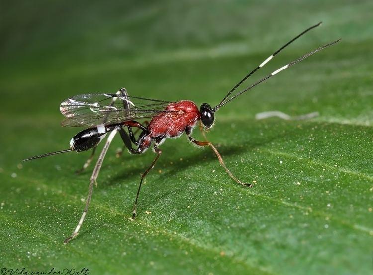 Ichneumonidae Classification of Afrotropical Ichneumonidae WaspWeb