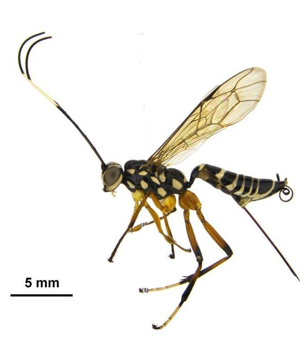 Ichneumonidae References Key to Ichneumonidae in NZ Landcare Research