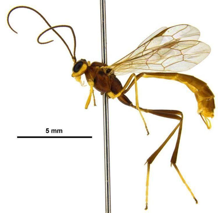 Ichneumonidae Ichneumonidae image gallery Ichneumonidae Landcare Research