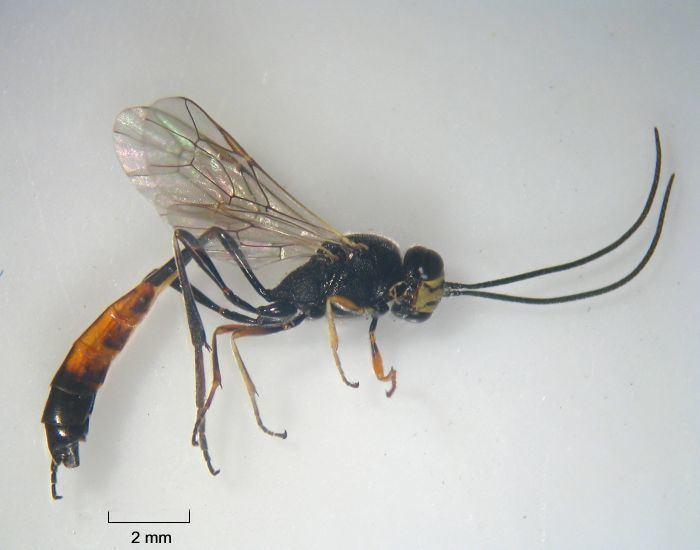 Ichneumonidae Ichneumonidae