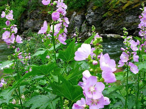 Iliamna rivularis Iliamna rivularis hollyhock Streambank Wild Hollyhock Flickr