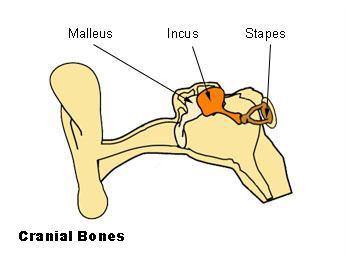 Incudomalleolar joint