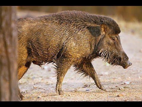 Indian boar - Alchetron, The Free Social Encyclopedia