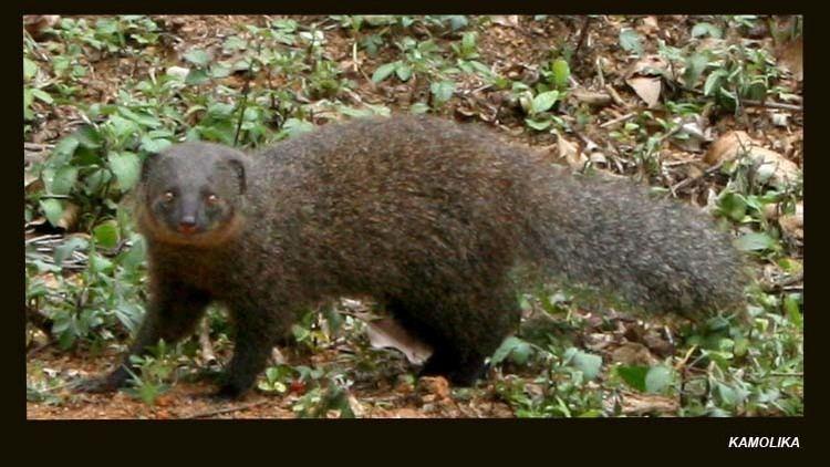 Indian brown mongoose Indian Brown Mongoose