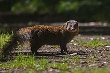 Indian brown mongoose httpsuploadwikimediaorgwikipediacommonsthu