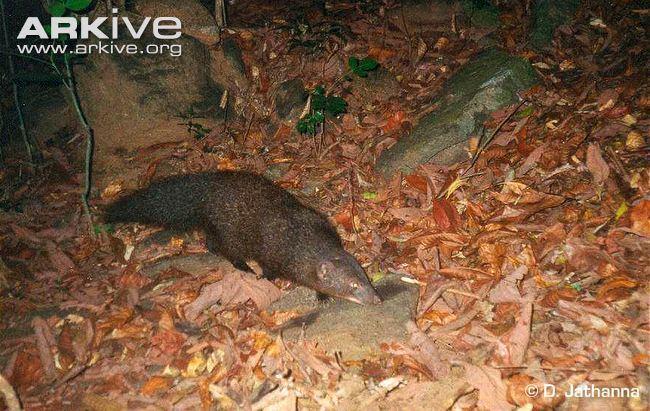 Indian brown mongoose Indian brown mongoose videos photos and facts Herpestes fuscus