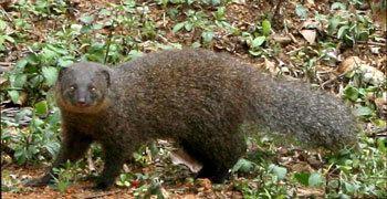 Indian brown mongoose Indian Brown Mongoose The Animal Files