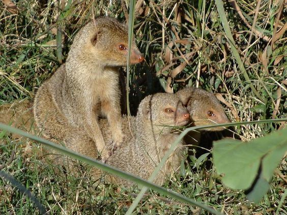 Indian brown mongoose Indian brown mongoose Herpestes fuscus is found in southwest India