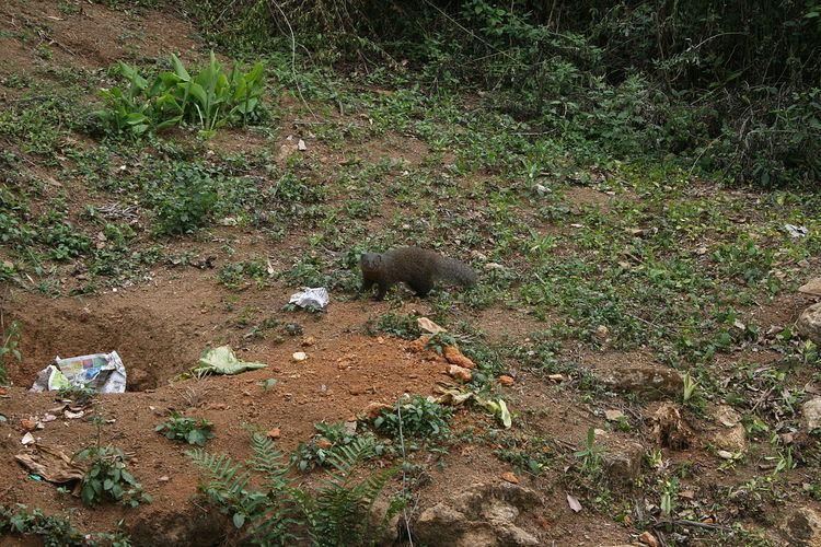 Indian brown mongoose Indian brown mongoose Wikipedia