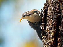 Indian scimitar babbler httpsuploadwikimediaorgwikipediacommonsthu