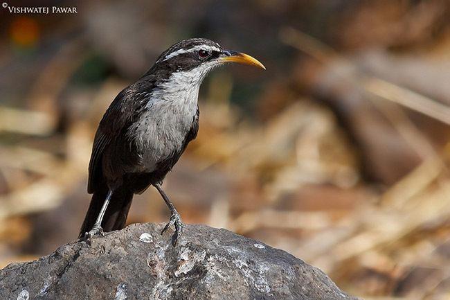 Indian scimitar babbler Oriental Bird Club Image Database Indian Scimitar Babbler