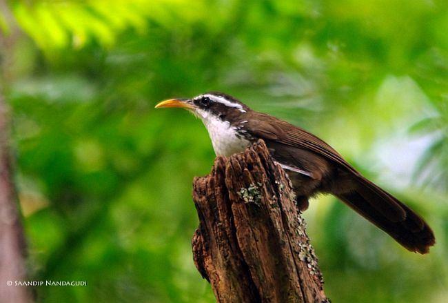 Indian scimitar babbler Oriental Bird Club Image Database Photographers
