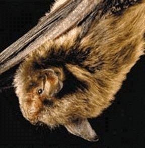 Indiana bat httpsuploadwikimediaorgwikipediacommonsbb