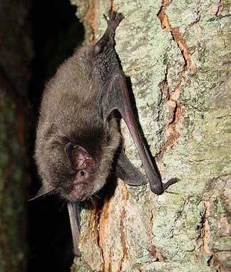 Indiana bat USFWS Fowler Ridge Wind Facility HCP Indiana Bat