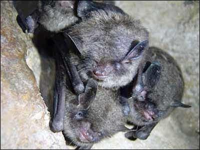 Indiana bat USFWS Indiana Bat Myotis sodalis Fact Sheet
