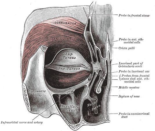 Infraorbital nerve