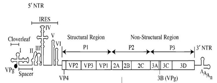 Internal ribosome entry site
