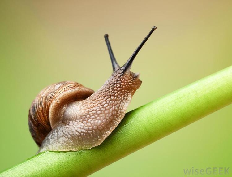 Invertebrate imageswisegeekcomsnailonagreenleafstemjpg