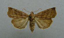 Ipimorpha retusa httpsuploadwikimediaorgwikipediacommonsthu