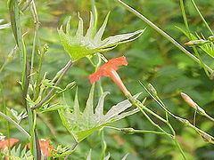 Ipomoea × multifida httpsuploadwikimediaorgwikipediacommonsthu