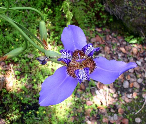 Iridaceae Iridaceae species list Iris of Hawaii Tropical Botanical Garden