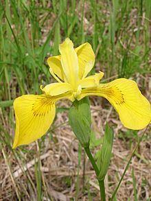 Iridaceae httpsuploadwikimediaorgwikipediacommonsthu