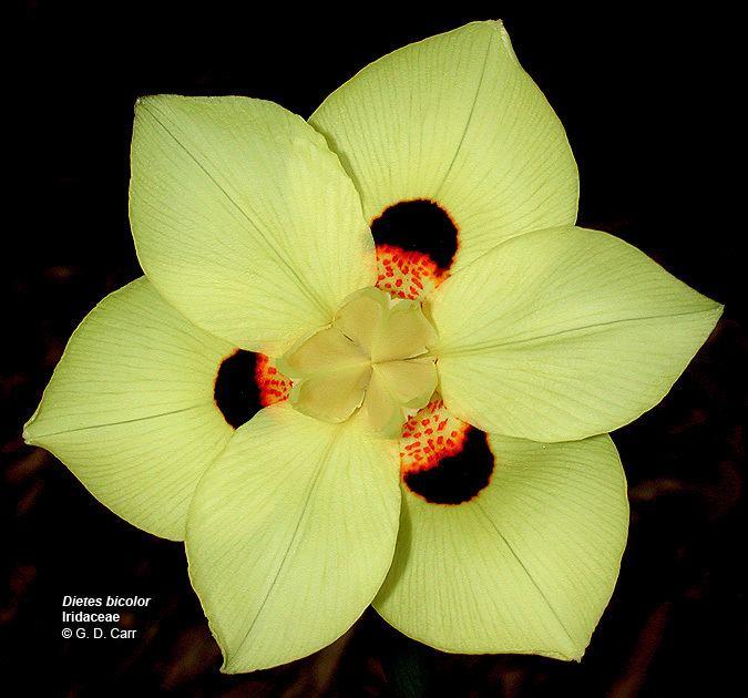 Iridaceae Flowering Plant Families UH Botany