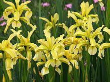 Iris halophila httpsuploadwikimediaorgwikipediacommonsthu